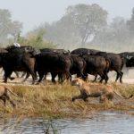 Botswana's Duba Lions Are Strictly Cape Buffalo Eaters