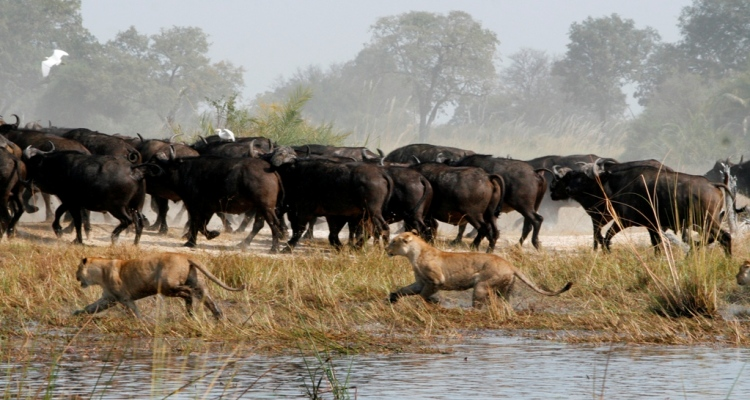 Botswana's Duba Lions Are Strictly Cape Buffalo Eaters