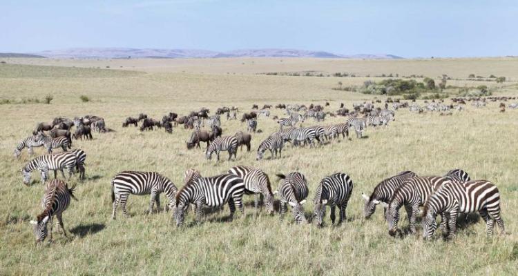 Botswana Zebra Migration