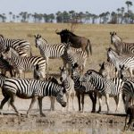 Riveting National Geographic Series Features The Botswana Zebra Migration