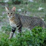 Wildlife of Botswana: Small Wild Cats