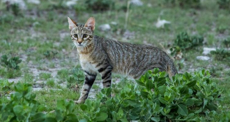 Wildlife of Botswana: Small Wild Cats