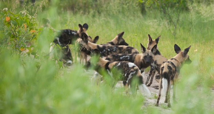 Wildlife of Botswana: Small Wild Dogs